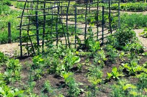 a community vegetable garden